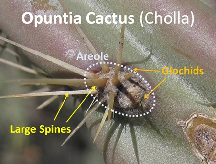 Opuntia Spines