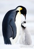 penguin1