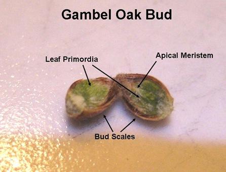 Gambel Bud