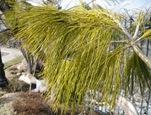 Mystery Pine Needles