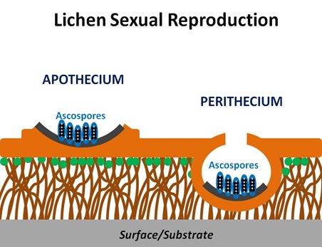 Lichen Sexual Repro