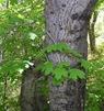 Acer Gr Leaves