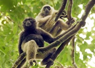 guide_gibbons