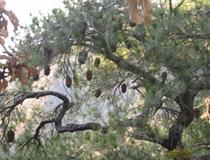 mp cones in tree3