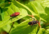 hem_boxelder_bug_and_nymph05