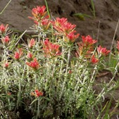 desert-paintbrush
