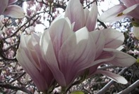 cf0011-magnolia-flower-photo-notecard-bg