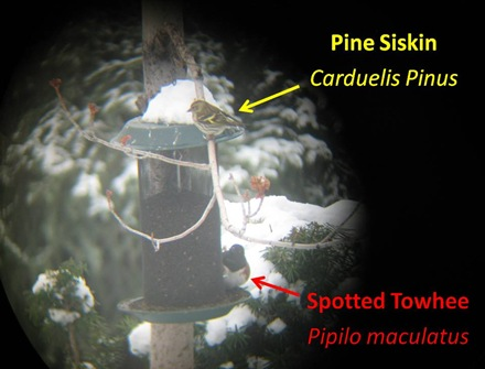 Siskin Towhee feeder shot