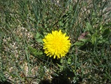 Dandelion3