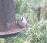 WC Sparrow cut