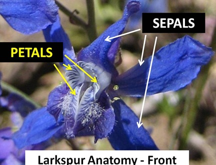Larkspur Frontview caption