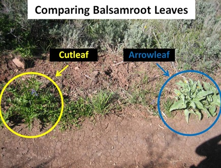 Balsamroot Compare