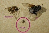 culicoides-mosquito-fly