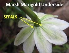Marigold Underside