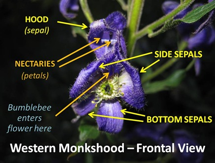 Monkshood Frontal