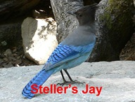 Steller Jay Caption