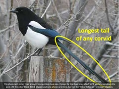 magpie1 caption