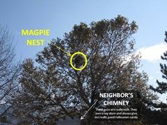 Magpie Nest1