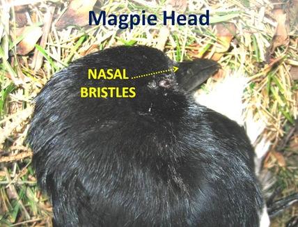 Magpie Head