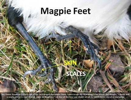 Magpie Feet
