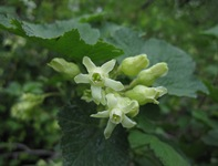 Mystery Ribes Flower
