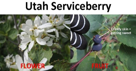 serviceberry compare