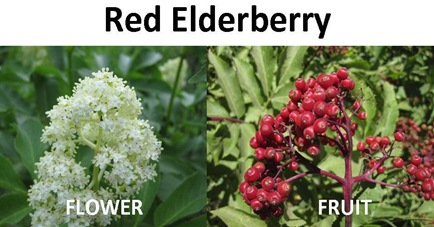 Red Elderberry compare