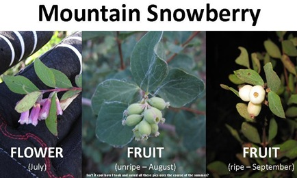Snowberry stages
