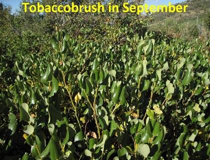 September TBrush