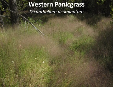 WPanicgrass caption