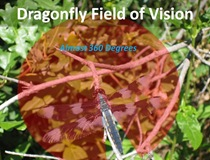 Dragonfly Field Vision[5]