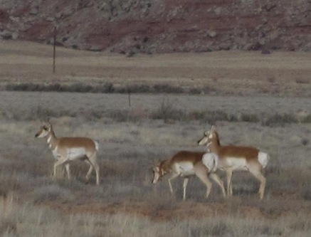Pronghorns East of Castle Dale 12 14 10