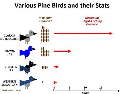 Pine Bird Stats