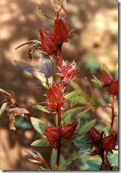 flor de jamaica 1