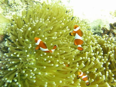 Nemo! Found several feet below sea level at Coral Reef Garden, Samal Island