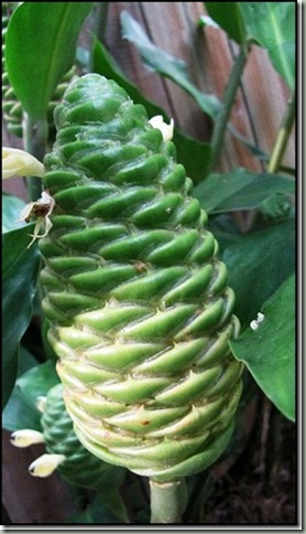 pinecone ginger