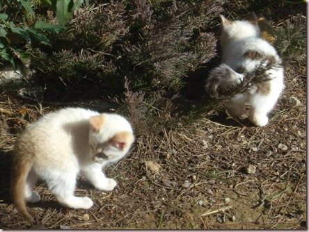 Mis gatitos juegan en el jardín; A.Z.; Begues, 04/02/09 14:13