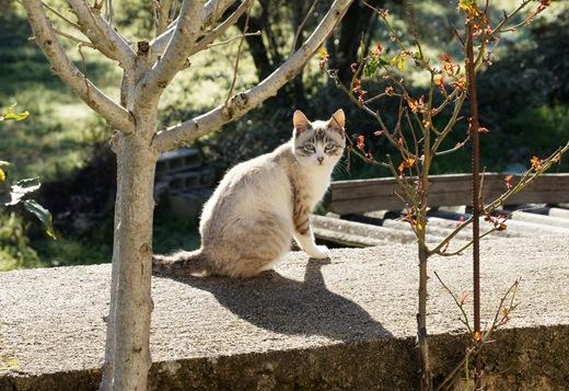 Idanha a Velha - gato da aldeia