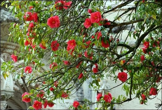 Buçaco - jardim do palácio - camélia vermelha 1