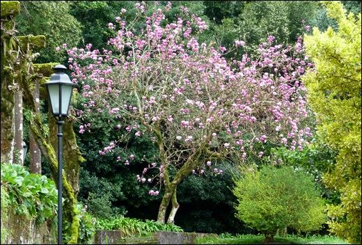 Buçaco - jardim do palácio - magnólia rosa 2