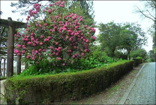 Buçaco - jardim do palácio - rodhodendron branco-rosa 1