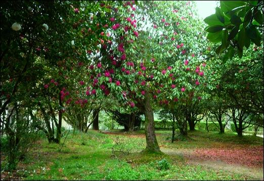 Buçaco - jardim do palácio - rododendro
