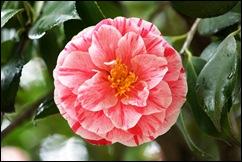 Buçaco - jardim do palácio - camelia rosa e branca 1