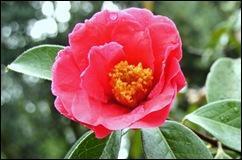 Buçaco - jardim do palácio - camelia roa - flor 1