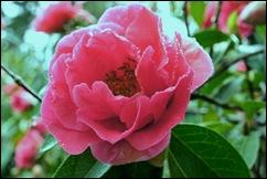 Buçaco - jardim do palácio - camelia rosa - flor