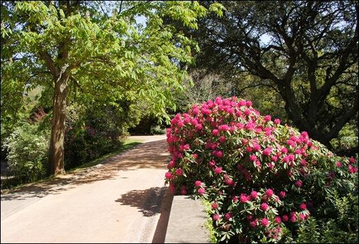 jardim serralves  - rododendron 2