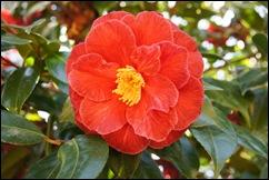 jardim serralves - flor camélia vermelha