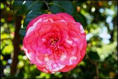 jardim serralves - flor camélia rajada vermelha