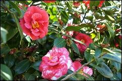 jardim serralves - flor camélia vermelha 5