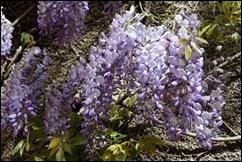 jardim serralves - porto - glicínias 13